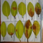 Symptomatic Rhododendron leaf stream baits