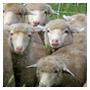 rr_sheep