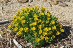 WEL July golden aster-1