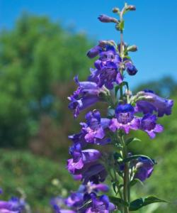 Penstemon hybrid 'Midnight'