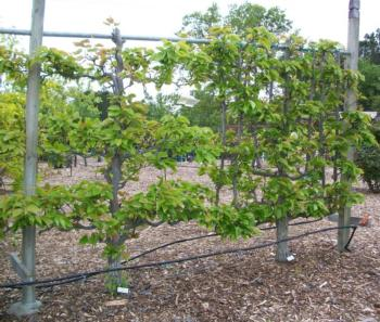 Asian pear espalier -arborsculpture