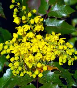 Oregon grape (Mahonia (Berberis) aquifolium)