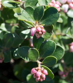 Bearberry (Arctostaphylos uva-ursi 'Point-Reyes')