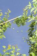 Pole thinning