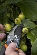 Fruit thin pruners