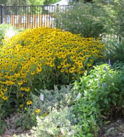 You would have viewed lovely blossoms in the WEL gardens, such as Rudbeckia hirta 'Indian Summer'.