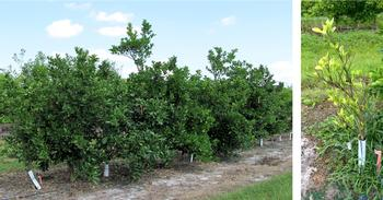 (left) Transgenic AtNPR1 overexpressing trees (right) Control