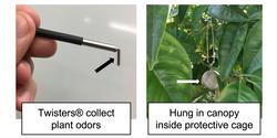 Fig 2. Twister® absorbs tree volatiles. They are hung in the tree canopy for 2 hours and analyzed in the laboratory.