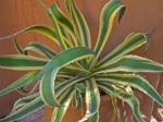 agave americana marginata
