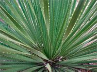Dasylirion texanum