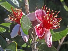 Pineapple Guava - UC Master Gardener Program of Sonoma County