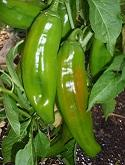 'Anaheim' peppers by Stephanie Wrightson