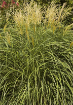 Ornamental grasses as lawn alternatives uc master for Spiky ornamental grass