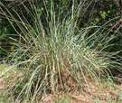 festuca_californica