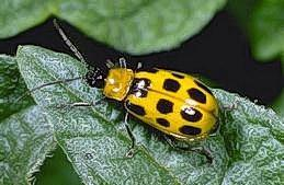 Cucumber Beetle - Western Spotted - IPM