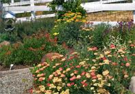 Yarrow, Lobelia laxiflora, Penstemon