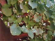 vitis cal leaves