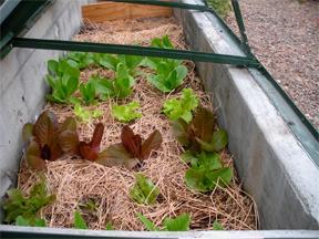 cold frame lettuce 2