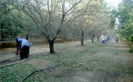 Almond harvest in experimental orchard. Kern Co. 2011.