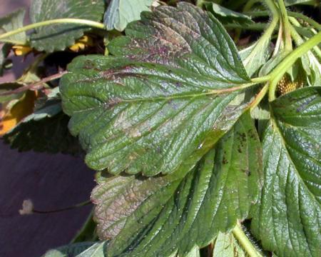 Oxyfluorfen injury in strawberry