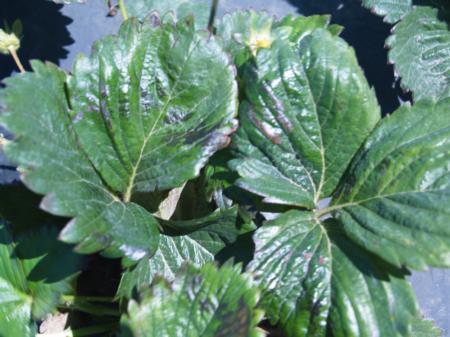 Leaves bruised by wind damage/Hojas magulladas por el daño causado por el viento.