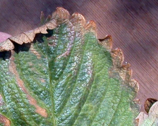 Marginal leaf necrosis_burn