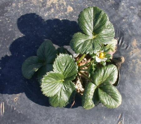 Untreated San Andreas strawberry plant