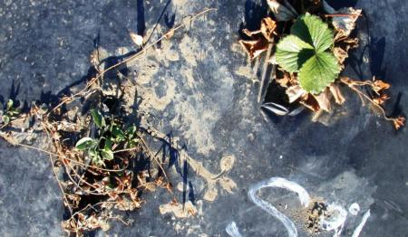 Fig 2. Both strawberry and bindweed regrow in 3-4 weeks following 'Suppress' fatty acid herbicide application.