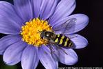 beneficial syrphid fly