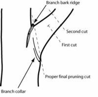 pruning cut diagram