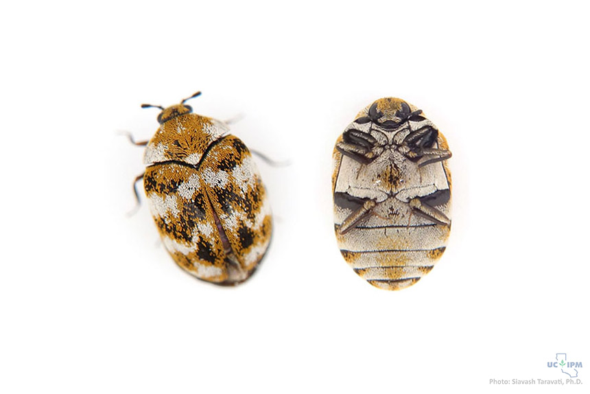 Varied carpet beetle - Anthrenus verbasci