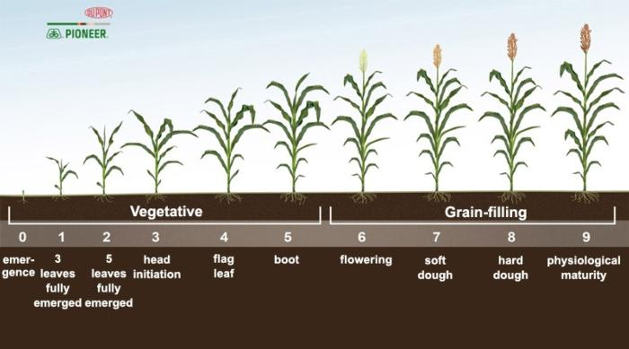 sorghum_growth