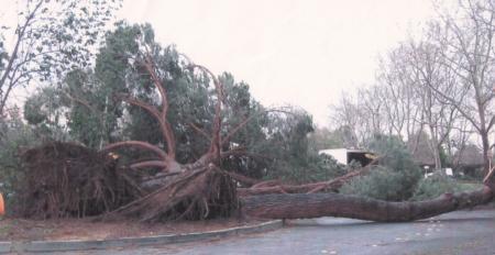 Italian stone pine root failure