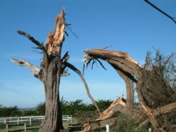 Monterey cypress trunk failure