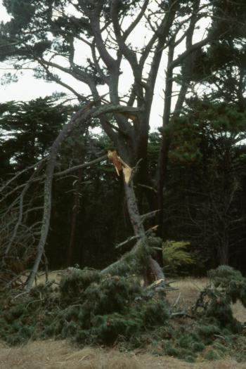Monterey pine branch failure