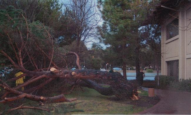 Italian stone pine trunk failure at ground level