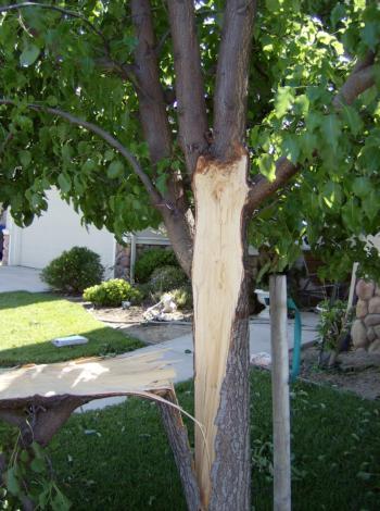 Callery pear branch failure
