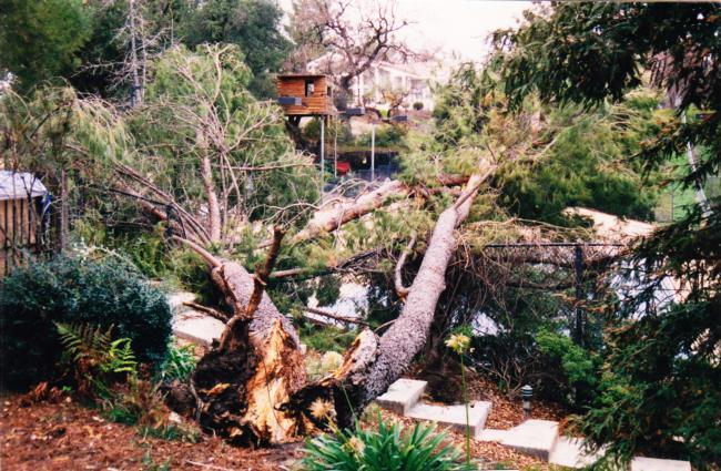 Italian stone pine low codominant failure