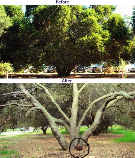 coast live oak multiple trunk failure