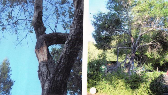 coast live oak branch failure