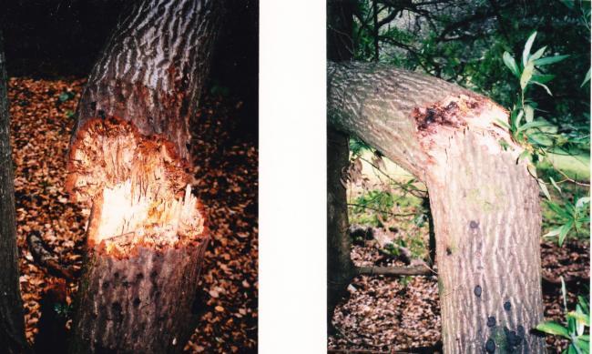 coast live oak trunk failures associated with Sudden Oak Death