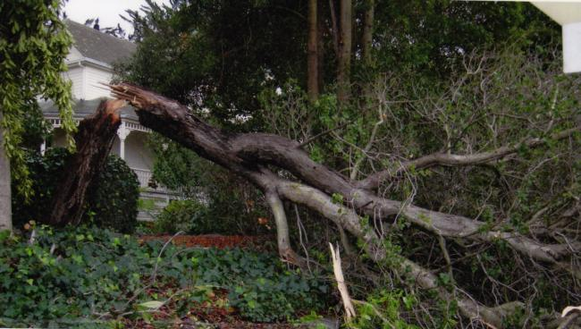 coast live oak trunk failure