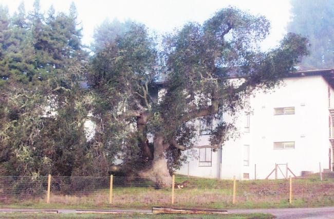 coast live oak root failure