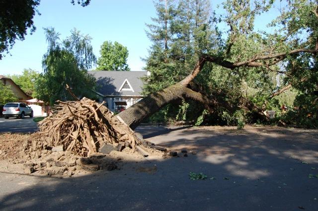 valley oak root failure