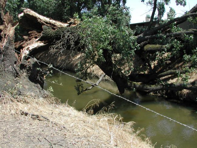 valley oak trunk failure