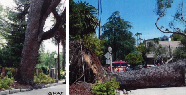 Aleppo pine root failure