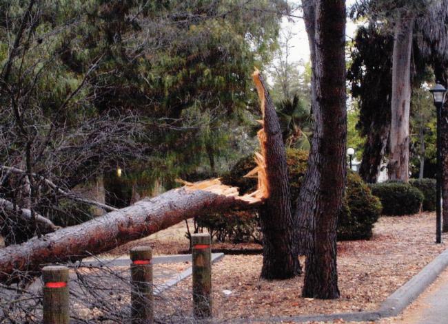 Aleppo pine trunk failure