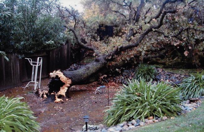 black oak trunk failure at ground level