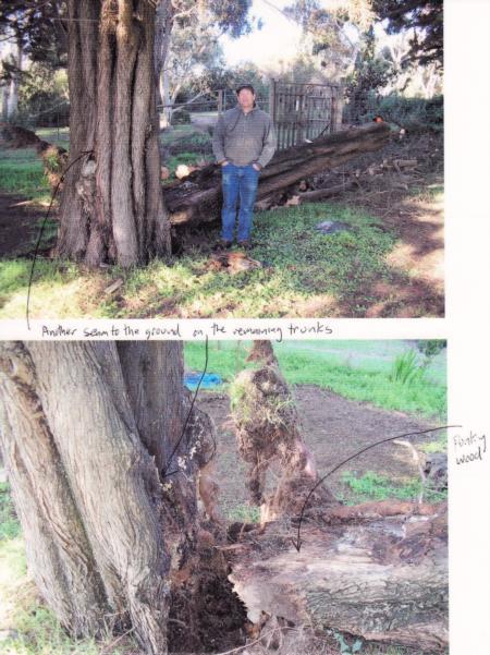 Monterey cypress trunk failure