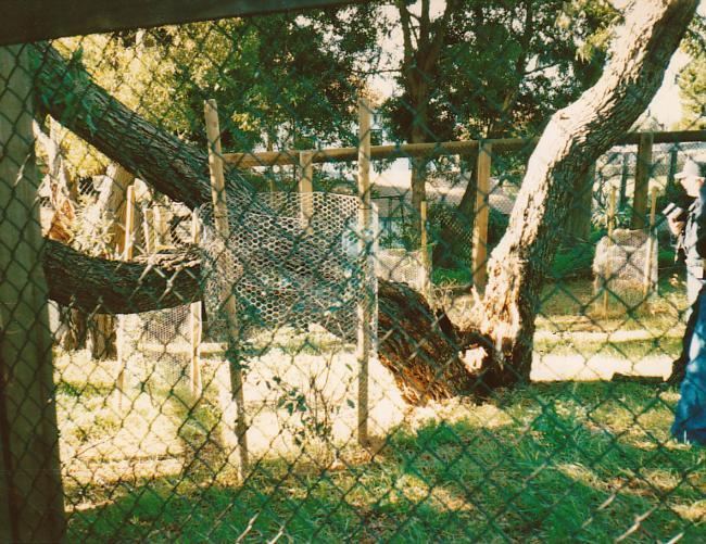 Blackwood acacia trunk failure